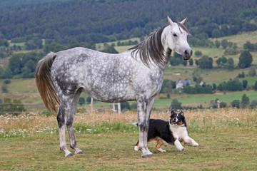 Jument grise jouant avec un chien