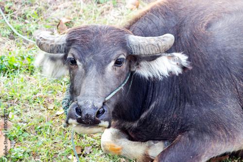 Plexiglas Buffel Thai buffalo and black bird on field