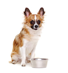 sitting chihuahua dog with dog bowl