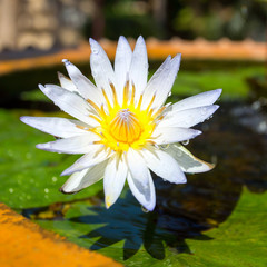Beautiful white Egyptian water lily flower (Nymphaea caerulea) c