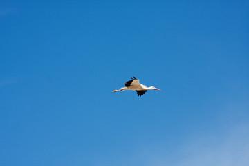 Armenian Crane Bird