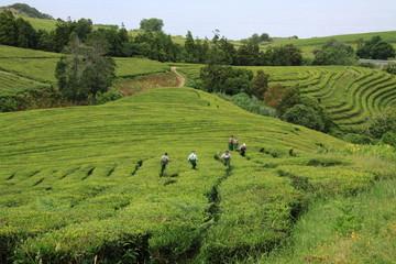 Teeplantage auf der Azoreninsel Sao Miguel