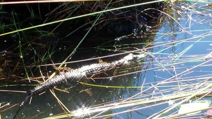 Young crocodile in stream Botswana
