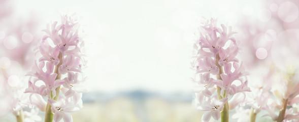 pastel hyacinths in back light, banner for website