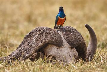 Bird resting on a buffalo skull