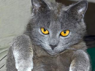 Gray British cat portrait