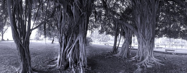 Large Banyan Trees in a Park