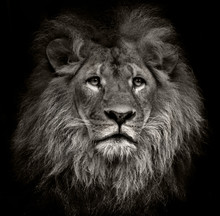 "Постер, картина, фотообои ""arrogant lion"""