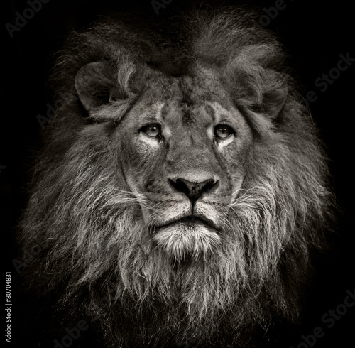 Canvas Afrika arrogant lion
