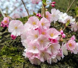 Japanische Kirschblüten :)