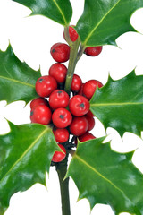 Christmas Holly Leaves & Berries on White Background