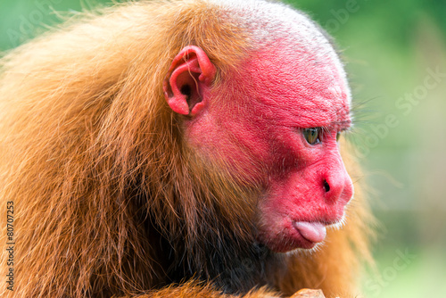 Foto op Canvas Aap Bald Uakari Closeup