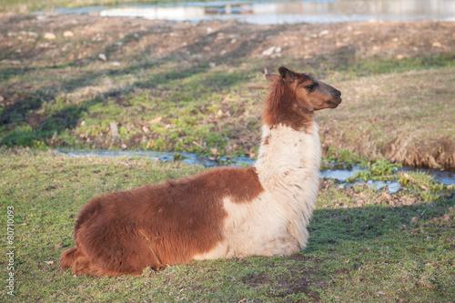 Foto op Plexiglas Lama Lone lama rests in field