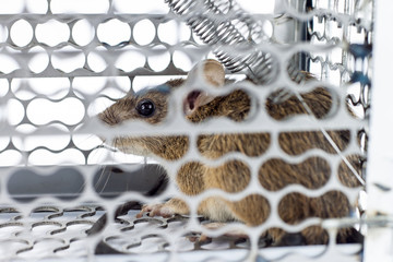 rat in the cage trap