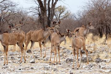 herd of Kudu in african savanna