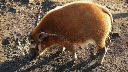 Wild Pig Sniffing Out Food