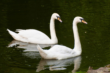 Swans on water