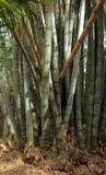 tronc de bambous géants