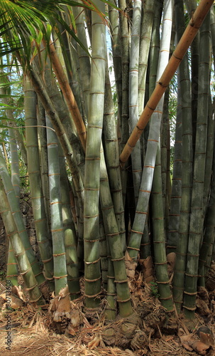 Tuinposter Bamboe tronc de bambous géants