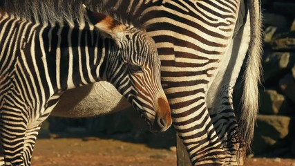 Zebra Foal By Its Mother