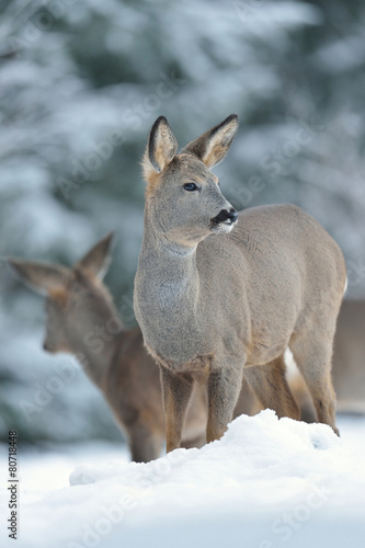 Fotobehang Ree Roe deer on snow in winter