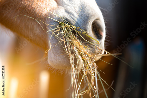 Horse eating grass - 80722834