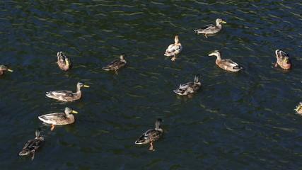 Wild ducks on the river.