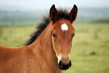 Fototapeta brown horse foal on field portrait