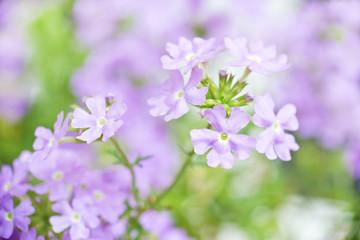 Close up of a blue verbena flower