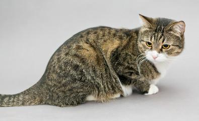 Portrait of a big gray striped cat