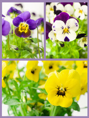 set of pansies