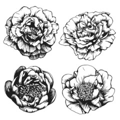Set of highly detailed hand-drawn peonies. Vector