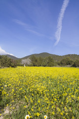 Spring with yellow flowers in ibiza, Spain