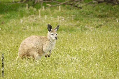 Papiers peints Kangaroo Portrait of a Wallaby