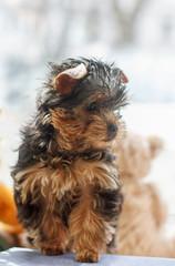 Yorkshire Terrier Puppy 2 months