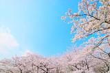桜・青空 - 80733636