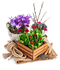 Spring flowers in wooden bucket with garden tools. Isolated on
