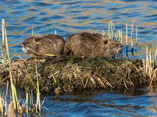 Two Coypus Resting on Small Island