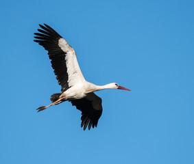 White Stork in Flight on Blue Sky