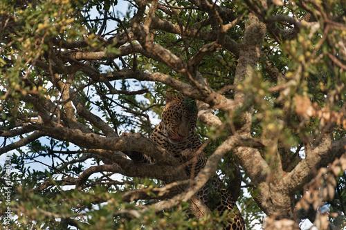 Fotobehang Luipaard Leopard