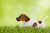 Fototapeta Biegnący terrier