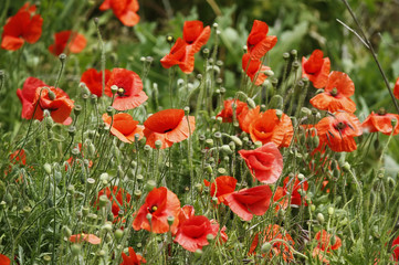 red poppies on green grass