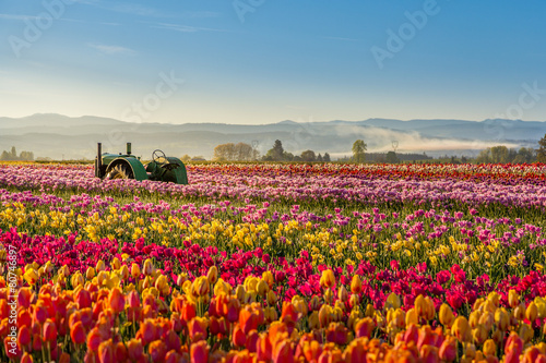 Keuken foto achterwand Tulp colorful tulip filed in the morning, Woodburn, Oregon