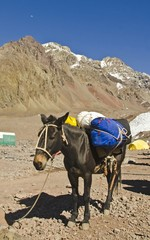 The Mule in the Plaza de mules in the Andes Mountains