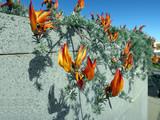 Kanaren-Hornklee - Lotus berthelotii