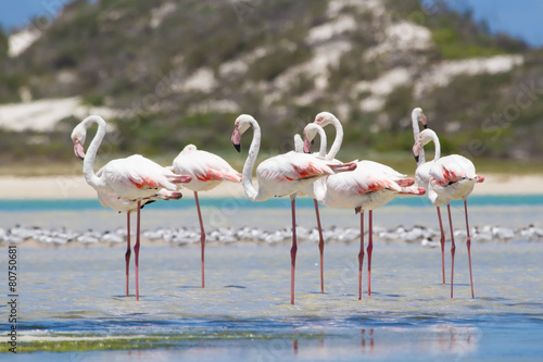 Staande foto Flamingo Flock of flamingos wading in shallow lagoon water