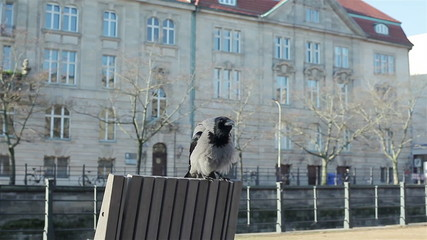 A grew crow sitting on the back of a bench. City landscape