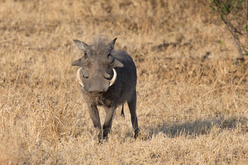 Warthog with big teeth walking among short grass