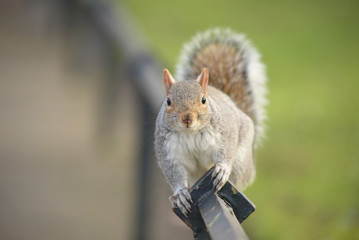 Gray Squirrel, Squirrel, Sciurus carolinensis