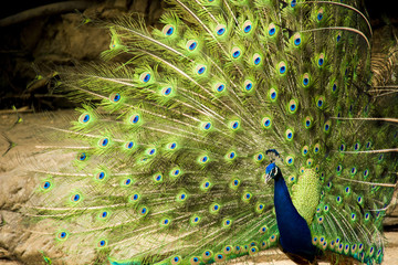 Wild male peacock showing tail feathers